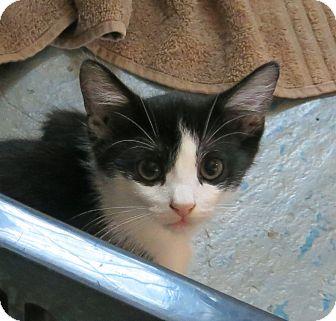 Domestic Shorthair Cat for adoption in Geneseo, Illinois - Panda