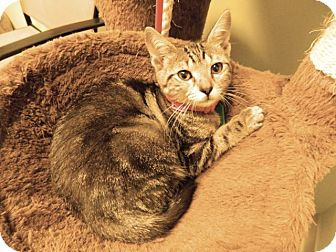 Domestic Shorthair Kitten for adoption in The Colony, Texas - Gabby