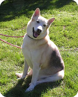 German Shepherd Dog/Husky Mix Dog for adoption in Rigaud, Quebec - Butch