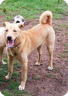 Husky/Labrador Retriever Mix Dog for adoption in Jefferson, Texas - Clyde