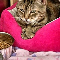 Adopt A Pet :: Tabis - declaw - South Bend, IN