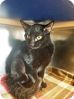Domestic Shorthair Cat for adoption in Manahawkin, New Jersey - Midnight