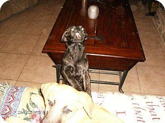 Bullmastiff/Newfoundland Mix Puppy for adoption in Pipe Creed, Texas - Skeet