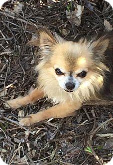 Chihuahua Mix Dog for adoption in Owatonna, Minnesota - Arthur