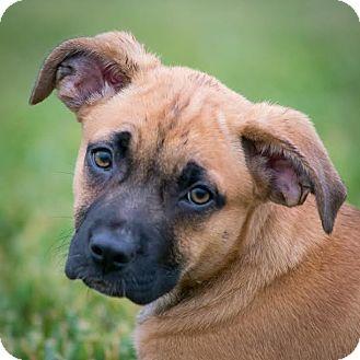 Labrador Retriever Mix Puppy for adoption in Columbia, Illinois - Kammie