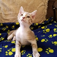 Adopt A Pet :: Latte - San Dimas, CA