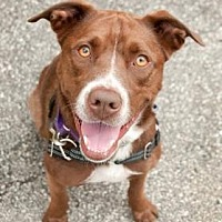 Chesapeake Bay Retriever Mix Dog for adoption in Chicago, Illinois - Chuck 2 - FEE SPONSORED BY BARKWORTHIES!