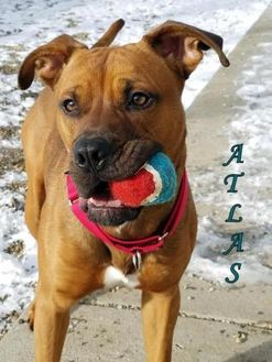 American Pit Bull Terrier Mix Dog for adoption in Boone, Iowa - Atlas