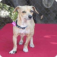 Adopt A Pet :: CHICHI - Goleta, CA