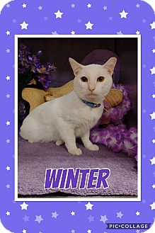 Domestic Shorthair Cat for adoption in Arlington/Ft Worth, Texas - Winter