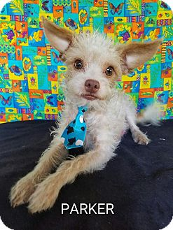 Cairn Terrier/Terrier (Unknown Type, Small) Mix Dog for adoption in Troutville, Virginia - Parker
