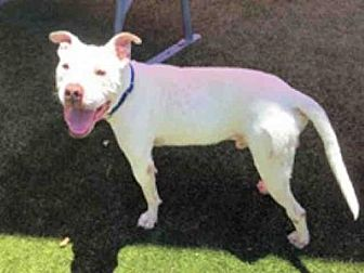 Pit Bull Terrier Dog for adoption in Waco, Texas - JAY