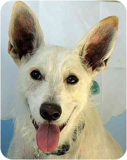 Cattle Dog/Terrier (Unknown Type, Medium) Mix Dog for adoption in Vista, California - Chipper