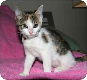Calico Kitten for adoption in Long Beach, New York - Cali