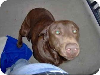 Labrador Retriever Dog for adoption in Evergreen, Colorado - Girty