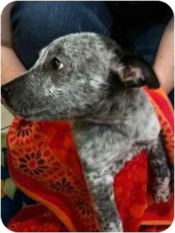 Australian Cattle Dog/Blue Heeler Mix Puppy for adoption in Arlington, Texas - Chance