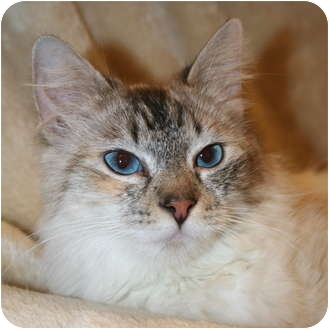 Siamese Cat for adoption in Foothill Ranch, California - Sarah