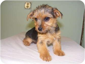 Yorkie, Yorkshire Terrier/Miniature Schnauzer Mix Puppy for adoption in Rochester, New Hampshire - Cassie