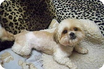 Shih Tzu Dog for adoption in Los Angeles, California - TRISTEN