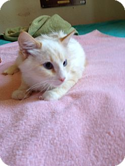 Colorpoint Shorthair Cat for adoption in Fountain Hills, Arizona - SNOWBALL