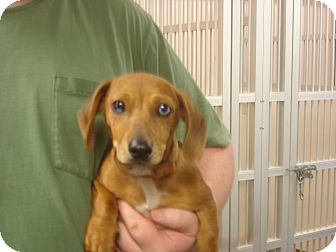 Dachshund Mix Puppy for adoption in Greencastle, North Carolina - Boomer