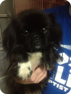 Pekingese Dog for adoption in Hazard, Kentucky - Tanner