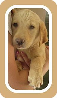 Labrador Retriever Mix Puppy for adoption in Woodlyn, Pennsylvania - Hazel