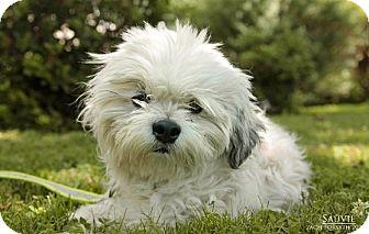 Shih Tzu Mix Dog for adoption in Portland, Oregon - Sauvie
