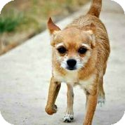 Chihuahua/Terrier (Unknown Type, Small) Mix Dog for adoption in Austin, Texas - Rocco
