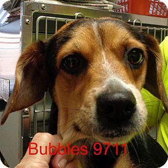 Beagle Mix Dog for adoption in Manassas, Virginia - Bubbles