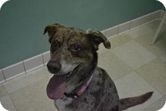 Australian Shepherd/Labrador Retriever Mix Dog for adoption in union, Missouri - Holly