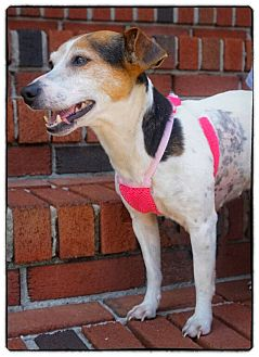 Jack Russell Terrier Dog for adoption in Freeport, New York - Heather
