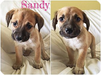 Collie Mix Puppy for adoption in Dallas, Texas - Sandy