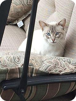 Domestic Shorthair Cat for adoption in Rochester, Minnesota - Harley