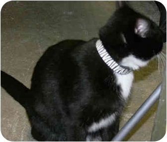 Domestic Shorthair Cat for adoption in Greenville, South Carolina - Bitsy