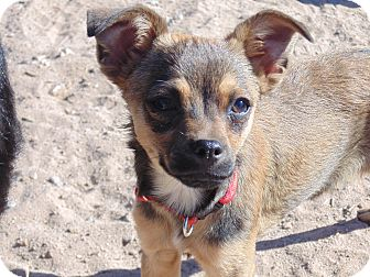 Chihuahua/Miniature Pinscher Mix Puppy for adoption in Las Cruces, New Mexico - Sammy