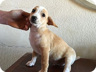 Chihuahua/Terrier (Unknown Type, Small) Mix Puppy for adoption in Phoenix, Arizona - Buster
