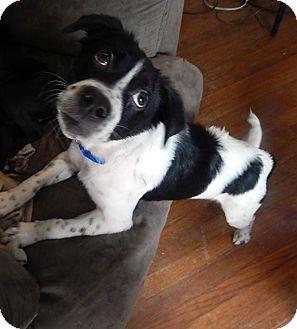 Border Collie/Spaniel (Unknown Type) Mix Puppy for adoption in Savannah, Georgia - Bessie