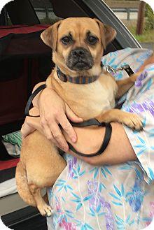 Pug/Beagle Mix Dog for adoption in Greensburg, Pennsylvania - Sassy