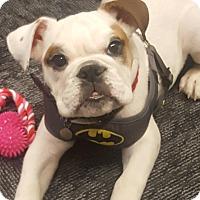 Adopt A Pet :: Buddy - Park Ridge, IL