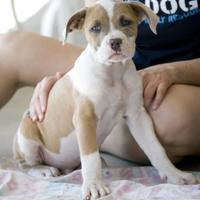 American Staffordshire Terrier Mix Dog for adoption in Fresno, California - Hanz
