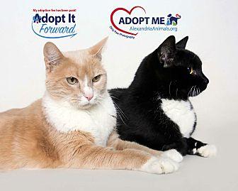 Domestic Shorthair Cat for adoption in Alexandria, Virginia - Daybreak