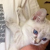 Siamese Kitten for adoption in Eureka, California - Java