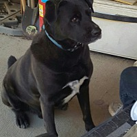 Labrador Retriever/Newfoundland Mix Dog for adoption in Byhalia, Mississippi - Tank
