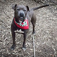 Adopt A Pet :: Blue - Kingston, TN
