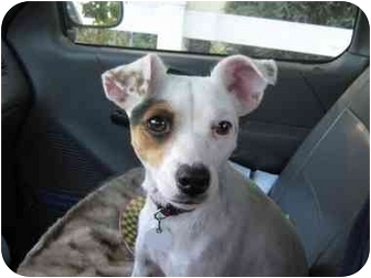 Jack Russell Terrier Mix Dog for adoption in San Diego, California - Spotty