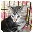 Photo 3 - Domestic Shorthair Kitten for adoption in Colmar, Pennsylvania - Moonlight