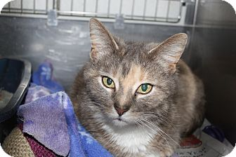 Domestic Shorthair Cat for adoption in Broadway, New Jersey - Anya