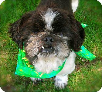 Shih Tzu Dog for adoption in El Cajon, California - Dylan