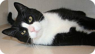 Domestic Shorthair Cat for adoption in Edmonton, Alberta - Kingston